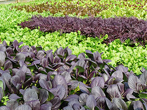 Biolandhof-Grossholz-Alte-Gemuesesorten-Asia-Salate