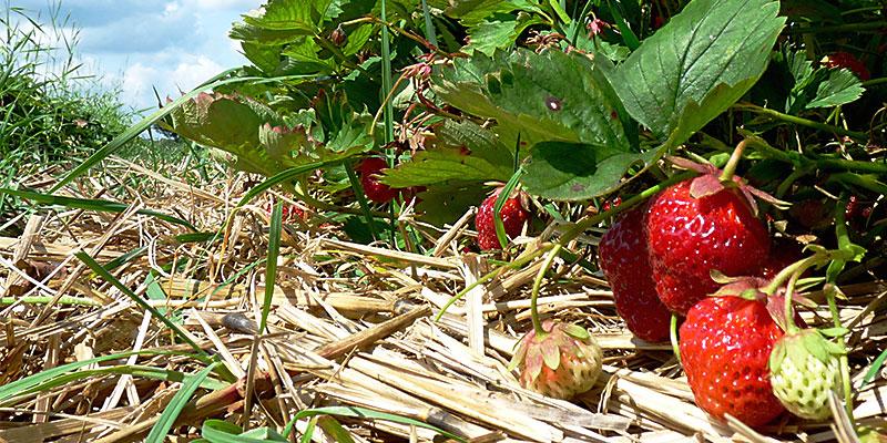 Biolandhof-Grossholz-Erdbeeren-Titel