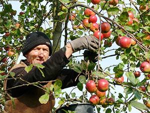 Biolandhof-Grossholz-Freilandkulturen-Apfelpfluecke