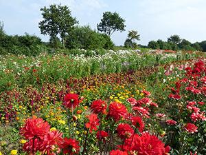 Biolandhof-Grossholz-Freilandkulturen-Blumen