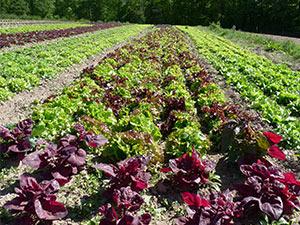 Biolandhof-Grossholz-Freilandkulturen-Salat