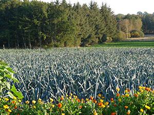 Biolandhof-Grossholz-Fruchtfolge-Porree
