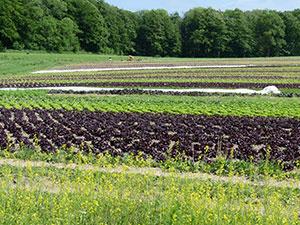 Biolandhof-Grossholz-Fruchtfolge-Salat