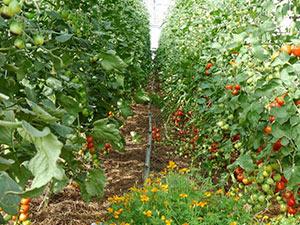 Biolandhof-Grossholz-Gewaechshaus-Tomaten-Bestand