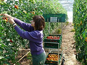 Biolandhof-Grossholz-Gewaechshaus-Tomatenernte