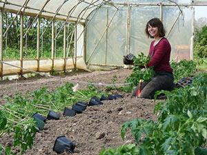 Biolandhof-Grossholz-Gewaechshaus-Tomatenpflanzung