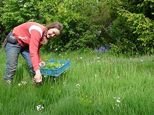 Biolandhof-Grossholz-Wildkraeuter-sammeln