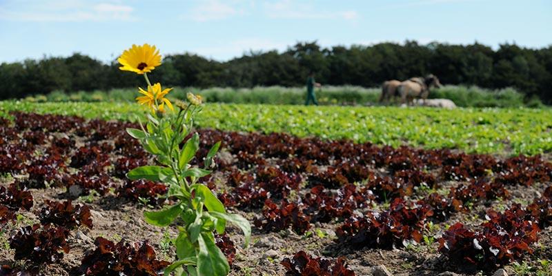 Biolandhof Grossholz Anbau Sonnenblume
