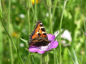 Biolandhof-Grossholz-Impressionen-Schmetterling-Kleiner-Fuchs