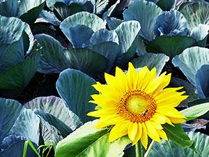 Biolandhof-Grossholz-Impressionen-Sonnenblume-Rotkohlfeld