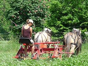 Biolandhof-Grossholz-Pferde-Geraete-Arbeit-Kartoffeln-Hacken