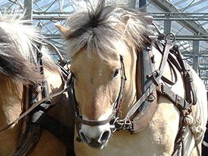 Biolandhof-Grossholz-Pferdearbeit-Ueber-unsere-Pferde-Gyalpo