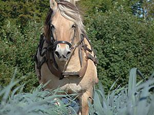 Biolandhof-Grossholz-Pferdearbeit-Ueber-unsere-Pferde-Merle