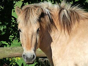 Biolandhof-Grossholz-Pferdearbeit-Ueber-unsere-Pferde-Reika