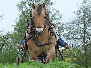 Biolandhof-Grossholz-Pferdearbeit-Ueber-unsere-Pferde-Rico