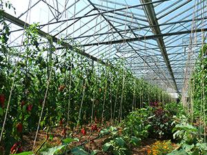 Biolandhof Grossholz Tomaten Auberginen Stangenbohnen