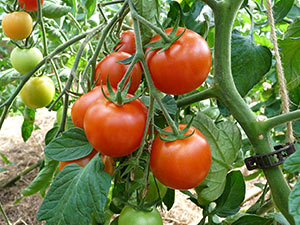 Biolandhof Grossholz Tomaten